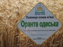 Оранта Одеська - озима пшениця для пізніх строків сіву