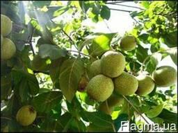 Орех Урожайный