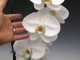 Орхидея Phalaenopsis (Фаленопсис) гранди белая 1 ствол 15*11