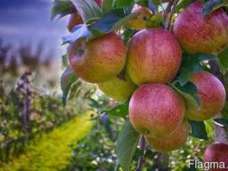 Осуществим посадку плодового сада, виноградника, ягодника