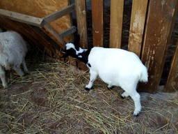 Овца для вязки