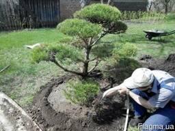 Озеленение участка. Посадка растений.