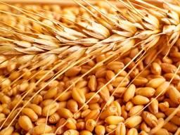 """Озима пшениця """"Антоновка"""" (1 репродукція)"""