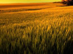 Озима пшениця Чорнява