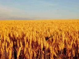 Озима пшениця Лісова пісня