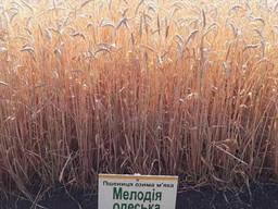 Озима пшениця Мелодія Одеська 1 репродукція
