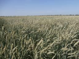 Безостая пшеница МИП Ассоль