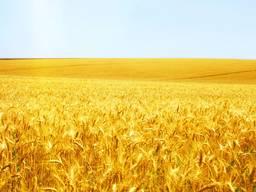 Озима пшениця Мудрість Одеська
