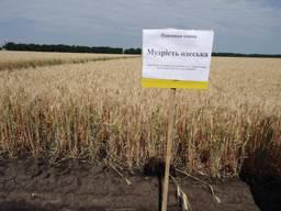 Озима пшениця Мудрість Одеська (еліта)