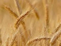 Озима пшениця Октава одеська еліта