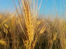Озима пшениця Шпалівка