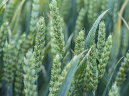 """Озима пшениця """"Скаген"""" (Saaten Union)"""
