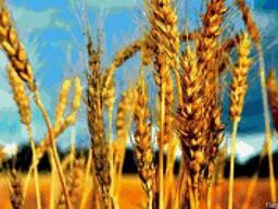 Озимая пшеница, озимый ячмень, с-эл. , эл. , 1 реп, Харьков