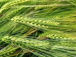 Семена канадского ячменя Талбот (двуручка)