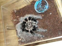 Паук птициед brachypelma albopilosum