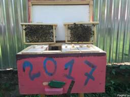 Бджоломатки Матка Карника, Карпатка 2021 Пчеломатки Пчелиные Матки