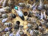 Пчеломатки Матка Карніка, Карпатка 2020 Пчелинная Матка - фото 6