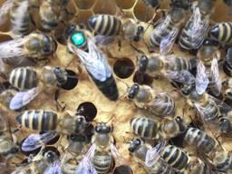 Пчеломатка Матки Карпатка 2019 года Пчелинная Матка - фото 6