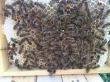 Пчеломатки Матка Карніка, Карпатка 2020 Пчелинная Матка - фото 7