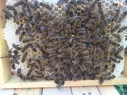 Пчеломатка Матки Карпатка 2019 года Пчелинная Матка - фото 7