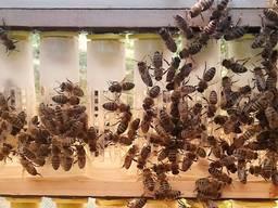 Пчеломатки УС и Карпатской пчелы 2020 года меченные , плодны