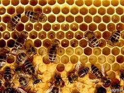 Пчелосемьи, рои, отводки, пчелопакеты, пчелы, бджоли, пакети