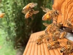 Пчелы, пчелосемьи, пакеты пчел