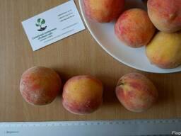 Персик ранний (июль) семена(10 штук) насіння, косточка.