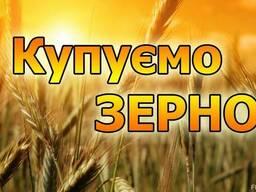 Закупимо пшеницю постійно у сільгоспвиробників!