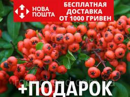 Пираканта ярко-красная семена (20 шт) Pyracantha coccinea. ..