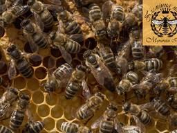 Бджоломатки карпатської породи, Карпатка плодная