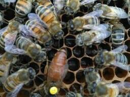 Плодные Пчеломатки (Пчелиные матки) Карпатки 2019 годаВучков