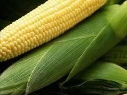 Почаивский 190 МВ купить, Семена кукурузы Почаивский 190 МВ