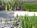 Подкормка для озимой пшеницы - фото 1