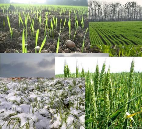 Подкормка для озимой пшеницы