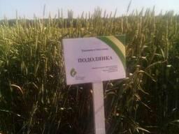 Пшеница Подолянка ЭЛИТА (безостая) Семена озимой