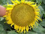 Семена подсолнечника Меридиан - фото 1