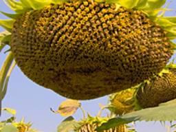 Подсолнечник Тибо масличный