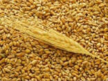 Покупаем пшеницу - фото 1