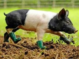 Полный ассортимент комбикормов для свиней