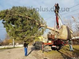 Посадка деревьев крупномеров - фото 1