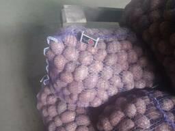 Посадочный картофель оптом. Сорта: Лабела, Бела Роса, Санте,