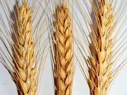 Посевмат пшеницы, сорт Шестопаловка, 1 репродукция - фото 2
