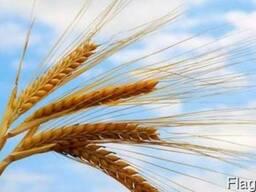Посевной материал - Канадская пшеница Леннокс (класс элита)