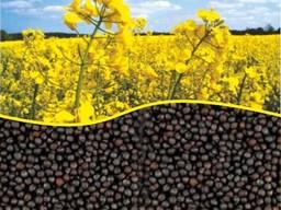 Посевной материал, семена озимого рапса. Насіння ріпаку 2019