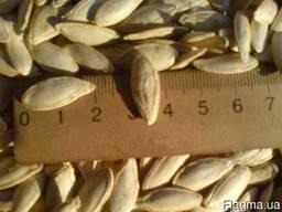 Посевной материал тыквы Сероволжская и болгарка R1 Семена