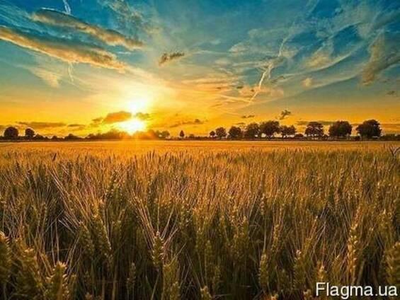Посівмат канадської озимої пшениці сорт Толєда