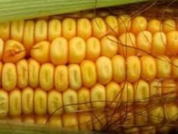 Постійно Купуємо Кукурудзу та відходи