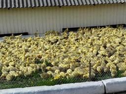 """ПП """"ППП """"Роздольне"""" реалізує інкубаційне яйце гусей"""