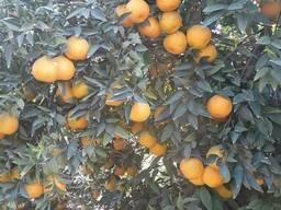 Предлагаем апельсины. Происхождение: Египет.